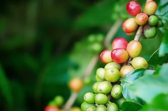 Primo piano di chicchi di caffè di ciliegia sul ramo della pianta del caffè prima della raccolta
