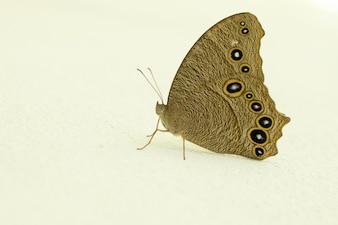Primo piano di farfalla soggiorno sulla parete bianca.