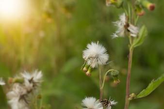 Primo piano di fiori di prato bianco in campo o erba fiore