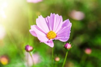 Primo piano fiori cosmo rosa nel giardino