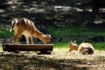 """Cervo che mangia in natura"""