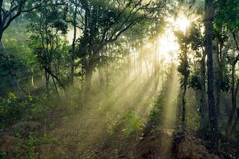 Raggi luminosi nella foresta in mattina nebbiosa in campagna