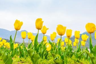 Tulipani bianchi scaricare foto gratis for Tulipani arancioni