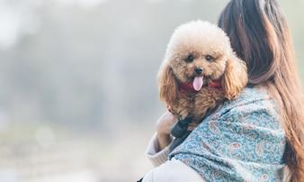 Toy Poodle che gioca con il suo maestro femminile