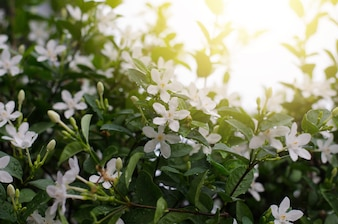Wrightia antidysenterica o il corallo ricciolo o la corteccia tellicherry che fioriscono sull'albero