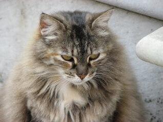 gato peludo