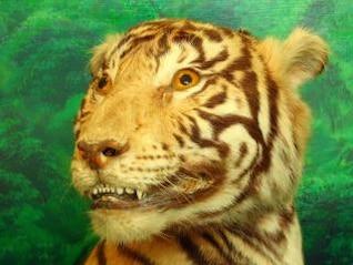 taxidermia de um tigre