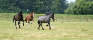 cavalos na Holanda, potro