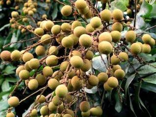fruta chinesa Yan longo