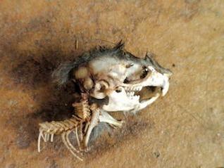 mouse zumbi, animal