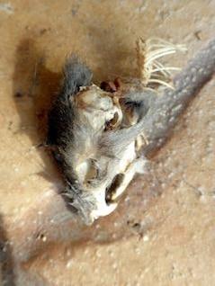 mouse zumbi