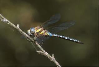 libélula, animais, macro, de insetos