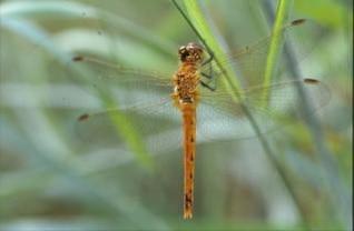 animal libélula, macro,