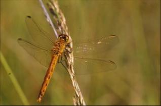 libélula, inseto