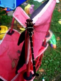 libélula closeup