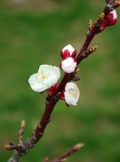 flor, maçã
