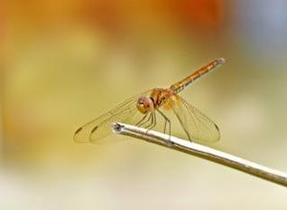 libélula, macro
