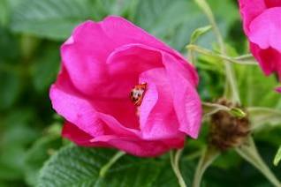 joaninha em flor rosa