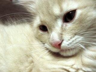 White Cat face,