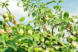Macieira, folhas