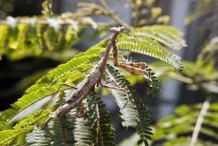 orando mantis inseto