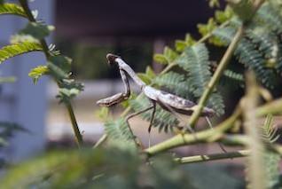 orando mantis imagem