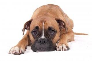 cão boxer deitado