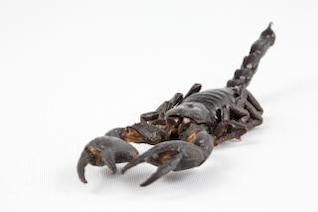 escorpião negro fechar-se scorpio