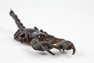 escorpião negro fechar-se de perto