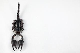 escorpião negro preto