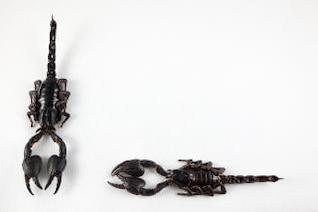 preto par escorpião assustador