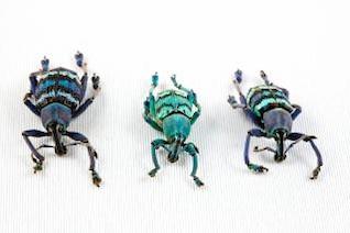 trio eupholus insetos besouro