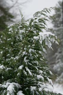 árvores cobertas de neve ramo