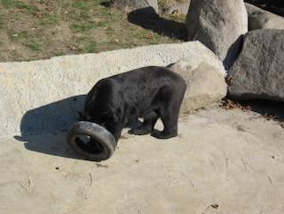 jogar urso preto