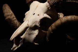 crânio e chifres de carneiro