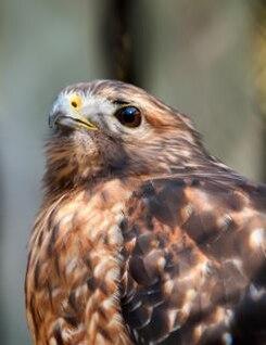 falcão predador pássaro