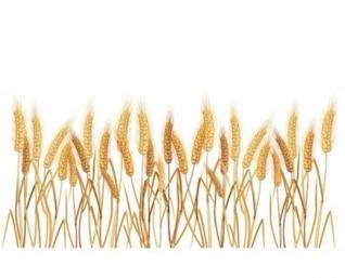 Vetor de grãos de trigo amarelo