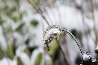 Flor de gelo