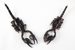 preto par escorpião