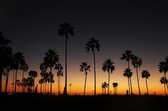 A noite paira sobre palmeiras altas na costa do oceano
