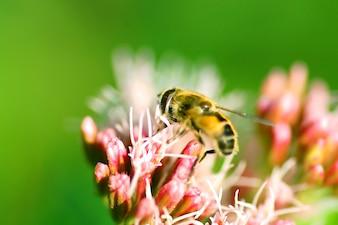 Abelha em uma flores