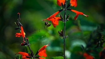 Abelha que coleta mel da flor vermelha