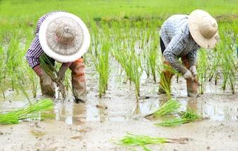 Agricultores plantaram mudas de arroz em um campo, áreas rurais e naturais.