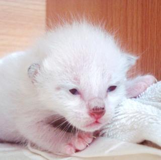 albino birmanês gatinho nascido