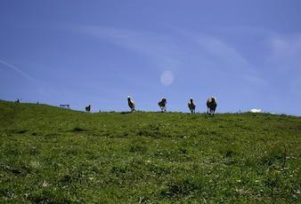 Alpe cavalos selvagens prado Tirol grner incomodam