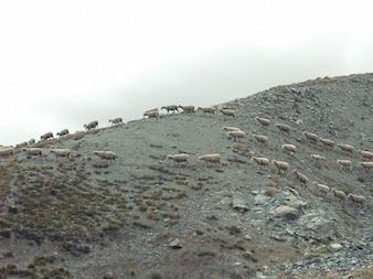 Andando ovelhas