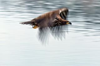 Animais águia careca