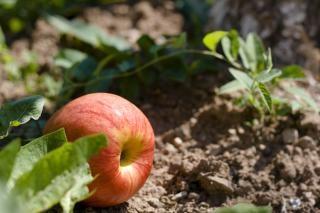 Apple, chão de árvores,