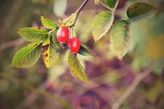 Arbusto rosado com bagas. (Pometum) Rosehip. Tempo de colheita de outono para preparar um chá doméstico saudável
