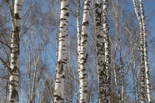 árvores bétulas